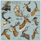 Big set of Horn, antlers Animals moose or elk with impala, gazelle and greater kudu, fallow deer reindeer and stag, doe. Or roe deer, axis and dibatag hand Royalty Free Stock Photos
