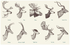 Big set of Horn, antlers Animals moose or elk with impala, gazelle and greater kudu, fallow deer reindeer and stag, doe. Or roe deer, axis and dibatag hand Stock Photo