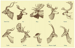 Big set of Horn, antlers Animals moose or elk with impala, gazelle and greater kudu, fallow deer reindeer and stag, doe. Or roe deer, axis and dibatag hand Stock Photography