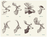 Big set of Horn, antlers Animals moose or elk with impala, gazelle and greater kudu, fallow deer reindeer and stag, doe. Or roe deer, axis and dibatag hand Royalty Free Stock Images
