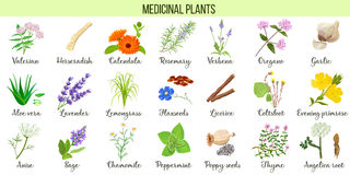 Big  set of medicinal plants. Valerian, Aloe vera, lavender, peppermint, angelica root, Chamomile, verbena, anise. Coltsfoot thyme etc For health care Stock Photos