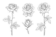 Free Big Set Of Rose Flowers, Buds, Leaves And Stems In Engraving Style. Hand Drawn Realistic Open And Unblown Rosebuds Stock Photo - 186575920