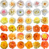 The Big Set of roses blooms Royalty Free Stock Image