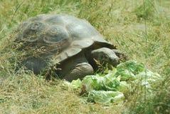 Big Seychelles turtle Royalty Free Stock Photography