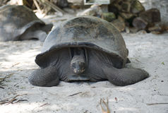Big Seychelles turtle Stock Photos