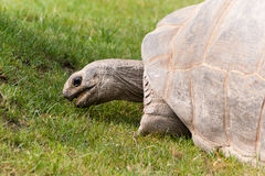 Big Seychelles Turtle. Close up Big Seychelles turtle stock photography