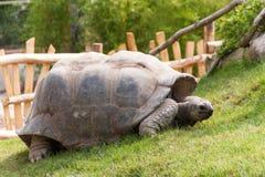 Big Seychelles turtle Stock Image