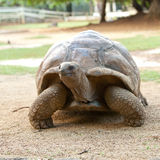 Big Seychelles turtle.Close up in a sunny day Stock Images