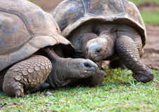 Big Seychelles turtle.Mauritius. Stock Photos