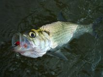 Big Shad Catch stock photography