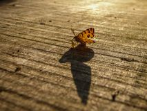 Big shadow of small orange butterfly. Latin name Pseudopanthera macularia on the wooden desk in Serbia stock images