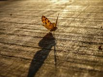 Big shadow of small orange butterfly. Latin name Pseudopanthera macularia on the wooden desk in Serbia stock photos