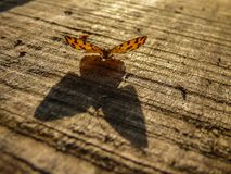 Big shadow of small orange butterfly. Latin name Pseudopanthera macularia on the wooden desk in Serbia stock photo