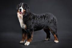 Big shaggy black domestic animal, Bernese Mountain Dog Studio sh Royalty Free Stock Image