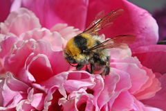 Big shaggy bumblebee the collecting nectar from peony – macro Royalty Free Stock Image