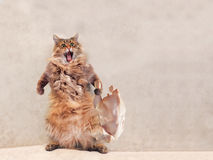 The big shaggy cat is very funny standing, Royalty Free Stock Photo