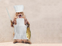 The big shaggy cat is very funny standing,cook 4 Royalty Free Stock Image