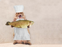 The big shaggy cat is very funny standing,cook 3 Royalty Free Stock Photography