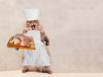 The big shaggy cat is very funny standing,cook 11 Stock Image