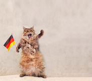 The big shaggy cat is very funny standing.flag.  Stock Photo