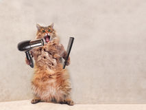 The big shaggy cat is very funny standing.groomer 1.  stock photography
