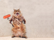 The big shaggy cat is very funny standing ,sausage 3 Royalty Free Stock Photography