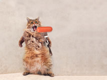 The big shaggy cat is very funny standing ,sausage 2 Stock Image