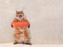 The big shaggy cat is very funny standing ,sausage 6 Stock Images