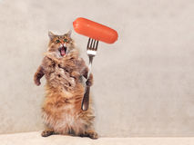 The big shaggy cat is very funny standing ,sausage 1 Royalty Free Stock Images