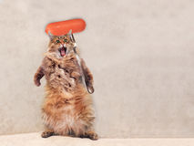 The big shaggy cat is very funny standing ,sausage 5 Royalty Free Stock Photo