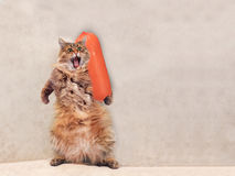 The big shaggy cat is very funny standing ,sausage 7 Stock Photos