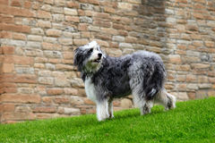 Big shaggy dog. Royalty Free Stock Photos