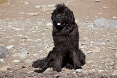 Big shaggy newfoundland Royalty Free Stock Photo