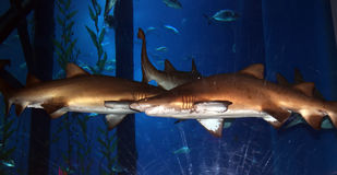 Big shark in the aquarium. Close-up, natural light Royalty Free Stock Images