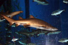 Big shark in the aquarium Stock Photos