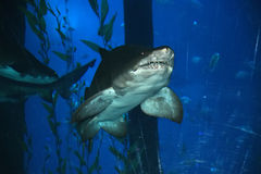 Big shark in the aquarium Royalty Free Stock Images