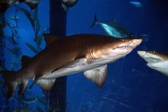 Big shark in the aquarium. Close-up, natural light Stock Photos