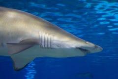 Big shark hunting for prey royalty free stock image
