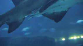 Big shark in oceanarium. Big white-blue shark slowly swim in aquarium with blue light ambient in background in oceanarium. Close-up shot on Canon 5d mark iii stock video footage