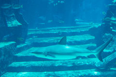 Big shark swimming in the drowned town in aquarium. Big shark swimming in the drowned town near stairs in aquarium Stock Images