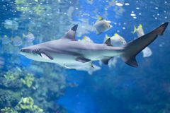 Big shark in the water close up Stock Image