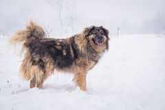 Big sheepdog in the snow. Big sheepdog in snow during walks around his teritory stock images