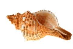 Big shell Stock Image