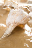 Big Shell. On wet sand. Some more shells in background Stock Image