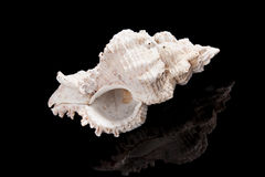 Big shell on black. Stock Image