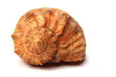 Big shell from bulgaria Royalty Free Stock Photography