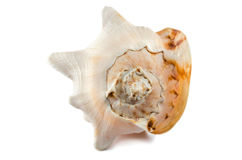 Big shell isolated. Single big beige shell isolated Royalty Free Stock Photography