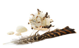 Big shell, three small shells and feather Stock Photography