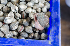 Big shells. I eat shellfish very big in thailand Stock Image