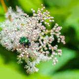 Big shiny green bug sitting in flowers of Spiraea Japonica Meadowsweet. Selective focus Royalty Free Stock Photos